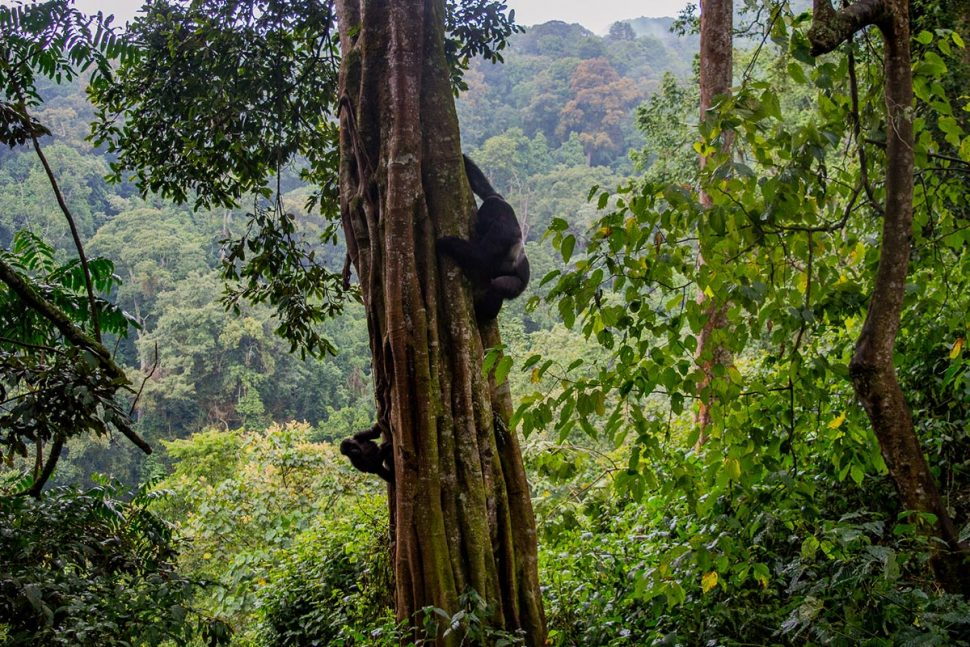 mountain gorilla tour in Uganda