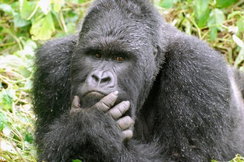 Mountain Gorilla Silverback in Uganda - Gorilla tour