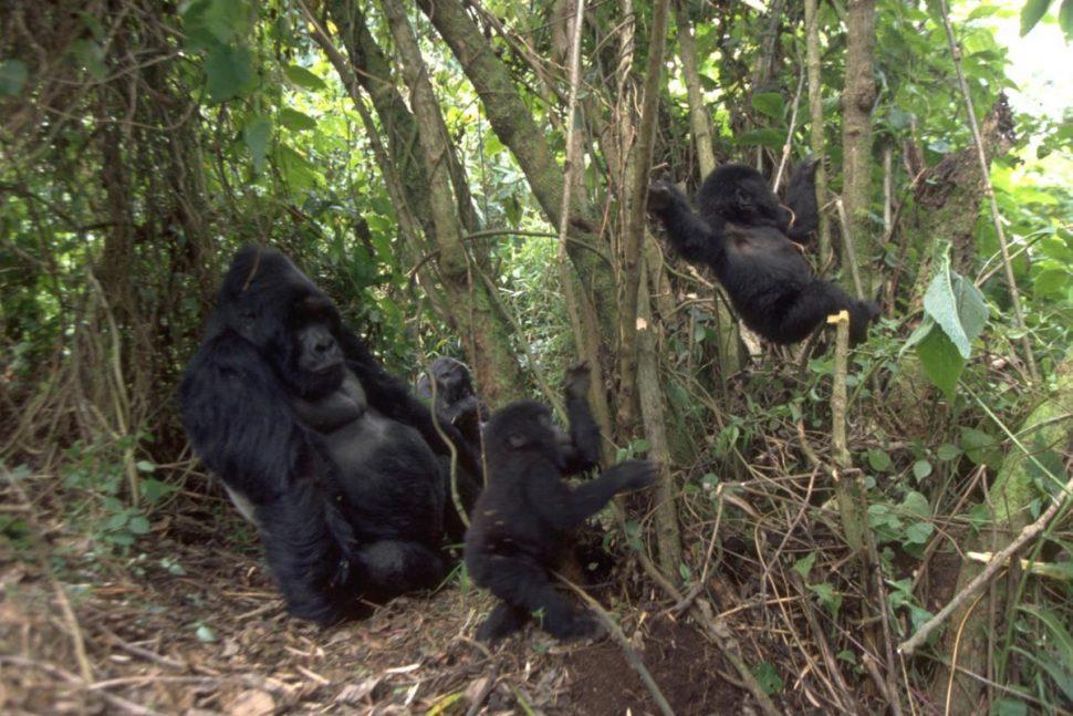 uganda gorilla trekking safari Jungle adventure