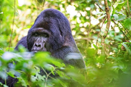 gorilla trekking in Uganda during coronavirus