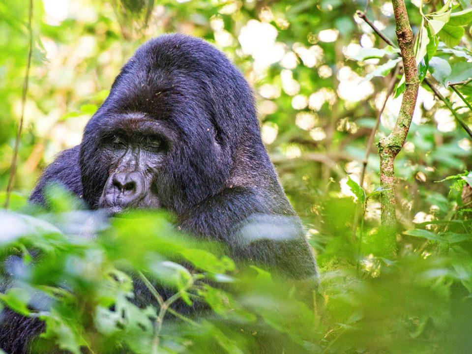 gorilla trekking in Uganda during coronavirus